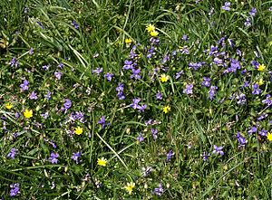 300px-Violets_by_the_coast_path_-_geograph.org.uk_-_1267169