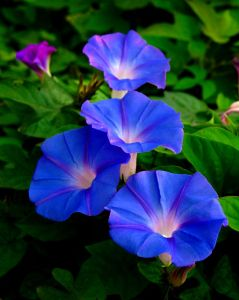 WHATS THE STORY Morning Glories